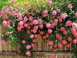 Розы и семья